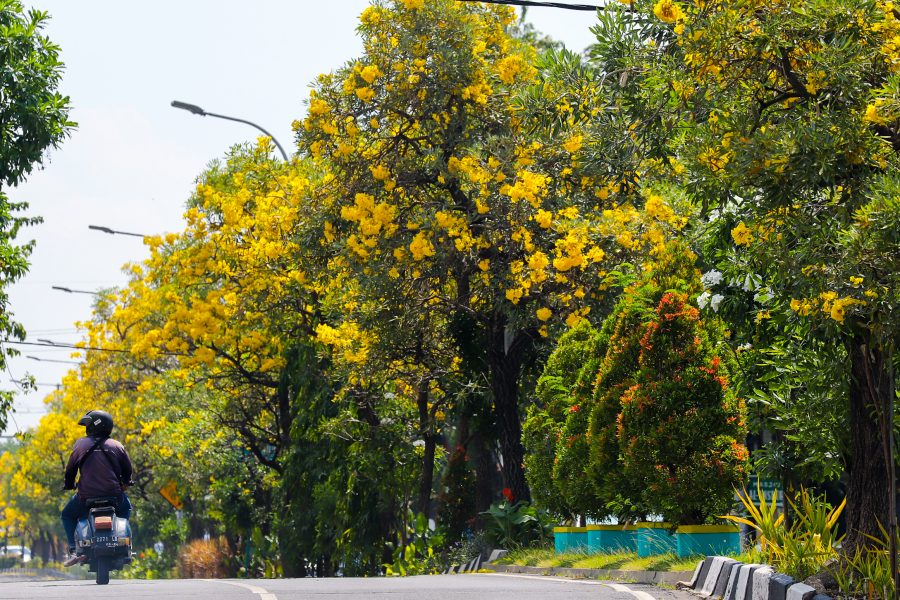 Bunga Tabebuya Kuning terlihat bermekaran di salah satu jalan protokol Kota Surabaya, Jawa Timur | Foto: Humas Pemkot Surabaya
